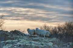 Sheeps in Snowy Iceland. Sky Royalty Free Stock Photos