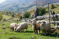 Sheeps som betar i en traditionell rumänsk bergby Arkivfoton