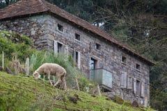 Sheeps som betar med ett stenhus i bakgrunden Fotografering för Bildbyråer