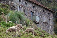 Sheeps som betar med ett stenhus i bakgrunden Arkivbilder