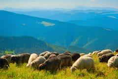 Sheeps som betar på bergöverkant, betar Fotografering för Bildbyråer