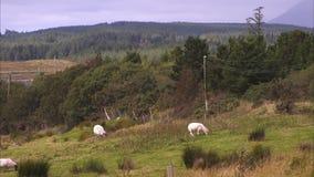 Sheeps som betar på ett bergigt fält lager videofilmer