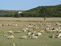 Sheeps som festar på ängen Royaltyfri Bild