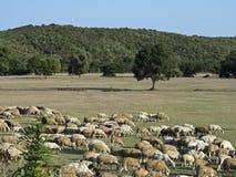 Sheeps som festar på ängen Royaltyfria Foton