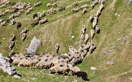 Sheeps som går ner kullen fotografering för bildbyråer