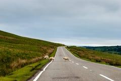 Sheeps som korsar en ensam landsväg, England, UK Arkivfoton