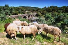 Sheeps som ser mig och den roman bron på bakgrund Royaltyfria Foton