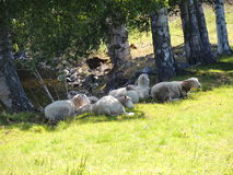 Sheeps som vilar i skuggan Royaltyfria Bilder