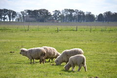 Sheeps. Some sheeps in the field royalty free stock photos