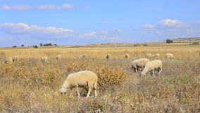Sheeps in spring. Royalty Free Stock Photos