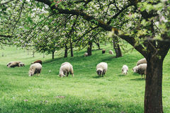 Sheeps in a Spring Landscape Stock Photography