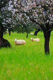 Sheeps in springtime 2 Stock Photo