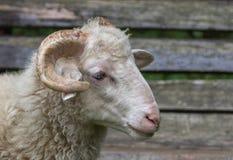 Sheeps stänger sig upp Arkivfoto