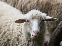 Sheeps stänger sig upp Royaltyfria Bilder