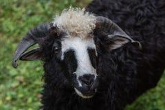 Sheeps stänger sig upp Royaltyfri Bild