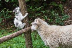 Sheeps stänger sig upp Arkivbilder