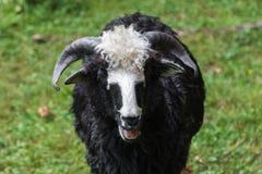 Sheeps stänger sig upp Arkivfoton