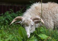 Sheeps stänger sig upp Royaltyfri Fotografi