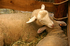Sheeps at stall. Two sheeps resting at stall Royalty Free Stock Photo