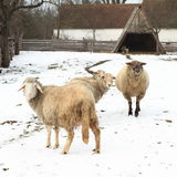 Walking sheeps. Sheeps standing and walking on white snow at farm Royalty Free Stock Photography