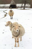 Standing sheeps Stock Photo