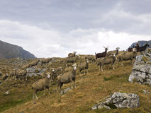 Sheeps in Stura Valley, Alps Mountains, Italy Stock Photo