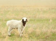 Sheeps su un prato Fotografia Stock
