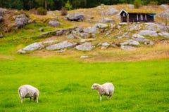 Sheeps sul pascolo Paesaggio della Norvegia Fotografia Stock Libera da Diritti