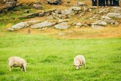 Sheeps sul pascolo Paesaggio della Norvegia Immagini Stock Libere da Diritti