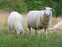 Sheeps sul prato Fotografia Stock Libera da Diritti