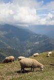 Sheeps sulla parte superiore della montagna Immagine Stock Libera da Diritti