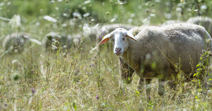Sheeps on a summer meadow Stock Photos