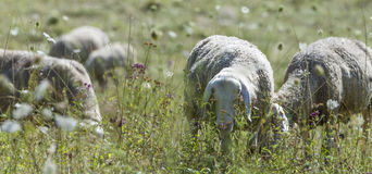 Sheeps on a summer meadow Stock Images