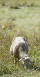 Sheeps on a summer meadow Royalty Free Stock Photography