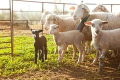 Sheeps at sunset royalty free stock image