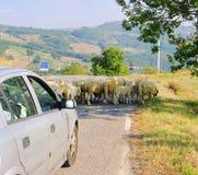 Sheeps sur la route Photo libre de droits