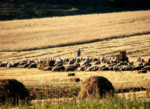Sheeps and swain. A herd of sheeps and the swain royalty free stock image