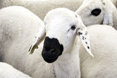 Sheeps. Sweet Sheeps wandering in the farm together Royalty Free Stock Photography