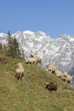 Sheeps in Switzerland Royalty Free Stock Images