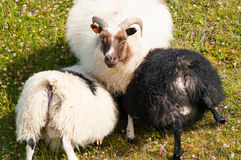 Sheeps. Three sheep on a green field Royalty Free Stock Images