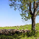 Sheeps from Transylvania Royalty Free Stock Image