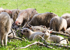 Sheeps from Transylvania Royalty Free Stock Photography
