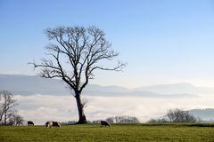 Sheeps and tree. Landscape with sheeps cloudy fog tree Royalty Free Stock Photo