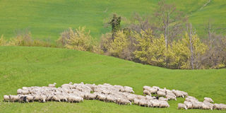 Sheeps in Tuscany Royalty Free Stock Photos