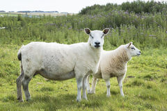 Sheeps. Two sheeps in a field Royalty Free Stock Photo