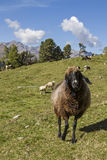 Sheeps in Tyrol Royalty Free Stock Photos