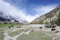 Sheeps u. Ziegen in der hohen Weide Lizenzfreie Stockfotografie