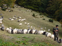 Sheeps of the Ukrainian Carpathians. Sheep grazing at the mountains Stock Photos