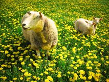 Sheeps und Lämmer stockfoto