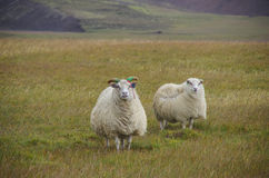 Sheeps under strong wind Royalty Free Stock Photos